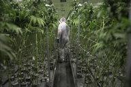 Grower in clean suit walking among cannabis plants - HEROF35530