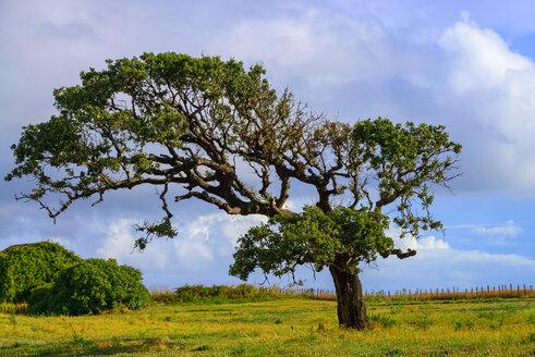 France, Corsica, San Pellegrino, pine tree - LBF02505