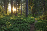 Italy, Trentino, Sun with sunbeams in forest at sunrise - RUEF02126