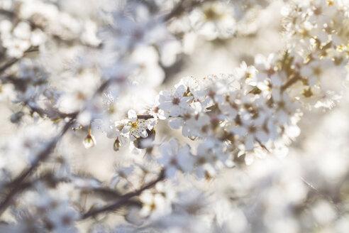 Flowering mirabelle tree, close-up - ASCF00948