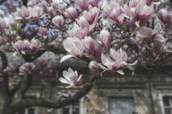 Blossoming Magnolia tree - ASCF00953