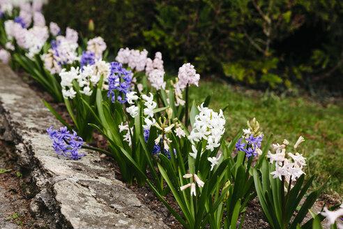 Flowerbed with hyacinths - HMEF00295