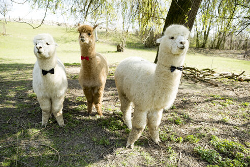 Three tame alpacas wearing bow ties standing on a meadow - FLLF00106