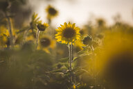 Germany, sunflowers at evening twilight - ASCF00960