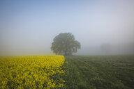 Germany, Brandenburg, idyllic landscape with rape field, meadow and oak tree at haze - ASCF00967