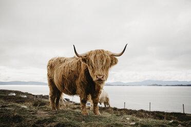 UK, Scotland, Highland, longhorn cattle on pasture - LHPF00645