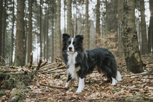 Border Collie in the forest - DWF00406