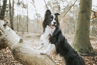 Border Collie standing on trunk in the forest - DWF00424