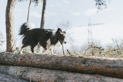 Border Collie walking on tree log in the forest - DWF00430