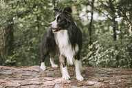 Border Collie on tree log in the forest - DWF00433