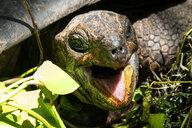 Seychelles, portrait of giant tortoise, close-up - NDF00886