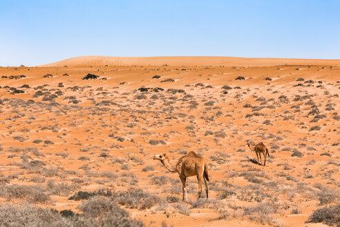 Dromedaries in Wahiba sands desert, Oman - WVF01327