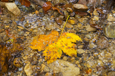 Autumnal maple leaf in a brook - HSIF00540