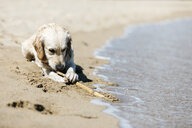 Labrador Retriever lying on the beach at seashore playing with stick - JRFF03173