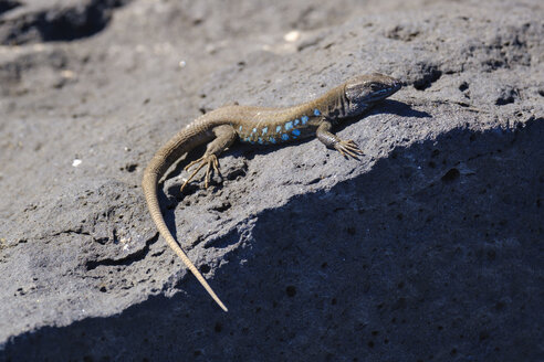 Spain, Canary Islands, Lanzarote, Atlantic lizard, Gallotia atlantica - SIEF08589