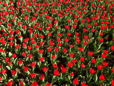Blooming tulips - JTF01222