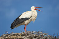 Germany, Baden-Wuerrttemberg, Lake Constance, Salem, white stork in nest - SH02167