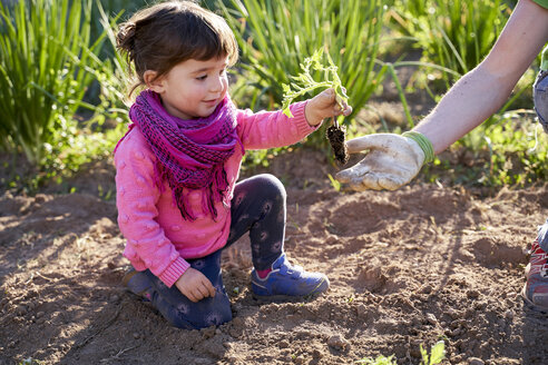Toddler girl helping her father planting tomatoes in the garden - GEMF02928