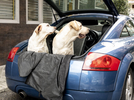 Two Labrador breed dogs in the back of car. - OCMF00415