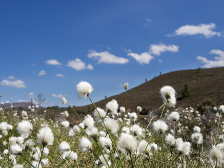 Great Britain, Scotland, Cairngorms, Glenmore, rolling landscape with cotton grass, Eriophorum - HUSF00046