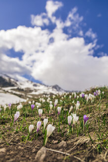 Italy, Trentino Alto-Adige, San Pellegrino, field with wild purple and white crocus flowers and melting snow - FLMF00177
