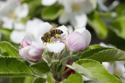 Bee on an apple blossom, Bavaria, Germany - CRF02854
