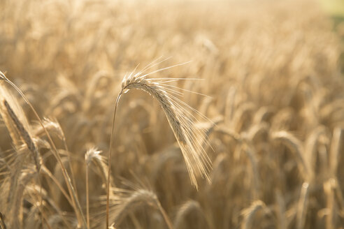 Close up of golden wheat - BLEF00305