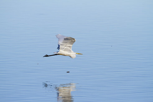 Germany, Bavaria, Chiemsee, great white egret in flight - ZCF00777