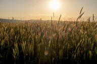 Field of wheat at sunset - BLEF01617