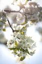 Cherry tree blossom - ASCF00998