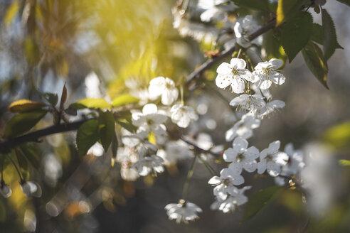 Cherry tree blossom - ASCF01001