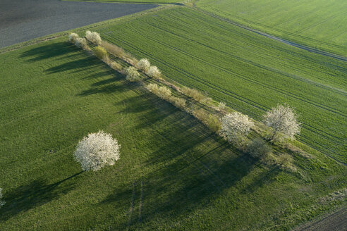 Germany, blossoming cherry trees between fields in spring seen from above - RUEF02187