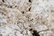 Japan, Tokio, Chidorigafuchi Park, cherry tree blossom - LHPF00702
