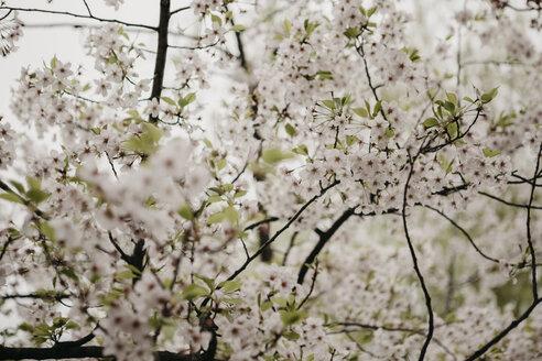 Japan, Tokio, Chidorigafuchi Park, cherry tree blossom - LHPF00711