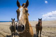 USA, Hawaii, Big Island, Ka Lae, horses on paddock - RUNF01950