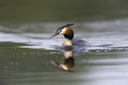 Scotland, swimming Great crested grebe - MJOF01701