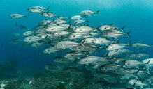Underwater view of school of Jack fish also known as Trevally, Raja Ampat, Sorong, Nusa Tenggara Barat, Indonesia - CUF50803