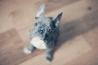 Portrait of French Bulldog puppy - ISF21355