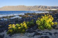 Spain, Canary Islands, Lanzarote, Caleta de Famara, Canary Samphire at the beach, Risco de Famara in the background - SIEF08626