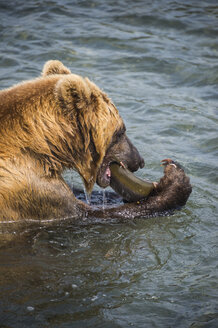 Kamchatka brown bear (Ursus arctos beringianus) eating salom, Kurile lake, Kamchatka, Russia - RUNF02005