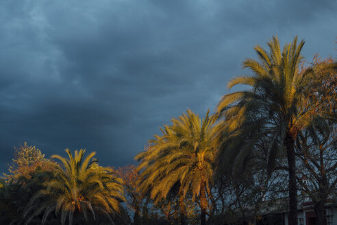 Coconut palms at sunset  with cloudy sky, Huelva, Spain - JCMF00060