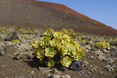 Spain, Canary Islands, Lanzarote, Los Volcanes Nature Park, Orpine Family - SIEF08644