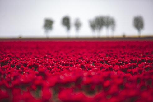 Germany, red tulip field - ASCF01014