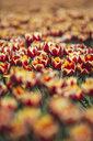 Germany, tulip field - ASCF01026