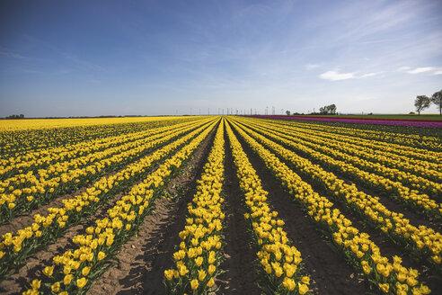 Germany, yellow tulip field - ASCF01029
