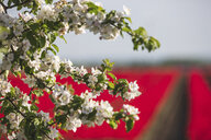 White blossoms of tree in front of red tulip fields, close-up - ASCF01035