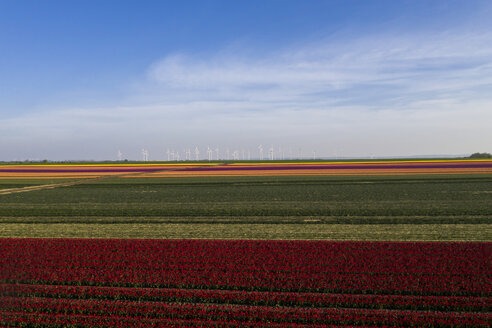 Germany, Saxony-Anhalt, aerial view of tulip fields with wind farm in background - ASCF01036
