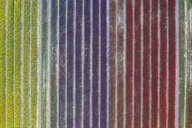 Germany, Saxony-Anhalt, aerial view of tulip fields - ASCF01045
