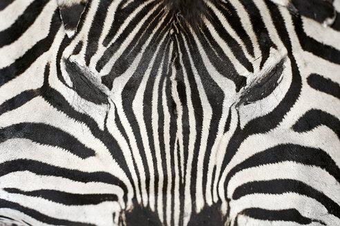 Africa, Limpopo, Kruger National Park, close-up of a Zebra - VEGF00197