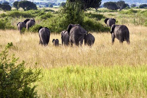 Africa, Uganda, Fort Portal, Elizabeth National Park, family of elephants walking away - VEGF00206